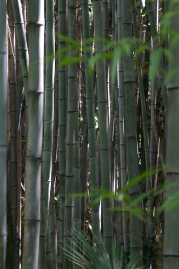 Japonija. Kioto. Bambukų giraitė šalia Koto-in Zen šventyklos
