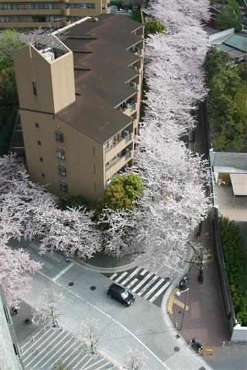 Japonija.Tokijas.Ropongi rajonas. Vyšnios
