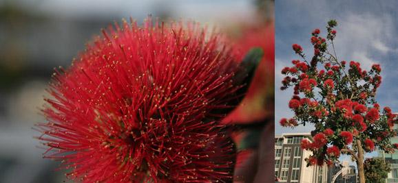 Naujoji Zelandija. Oklendas. Pohutukawa medis